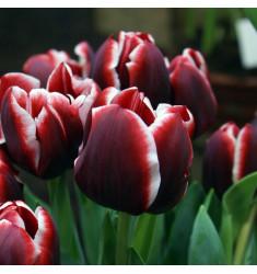 Тюльпан Армани 1 шт