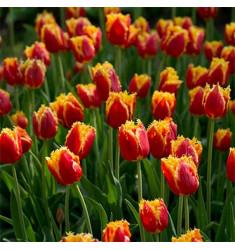 Тюльпан бахромчатый Давенпорт 1 шт