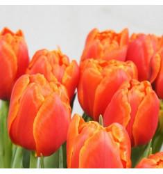 Тюльпан махровый Айкун 1 шт