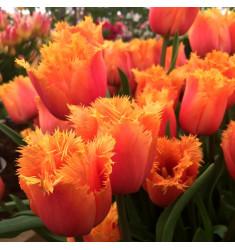 Тюльпан бахромчатый Ламбада 1 шт