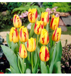 Тюльпан Вашингтон 1 шт