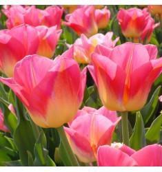 Тюльпан Том Паус 1 шт