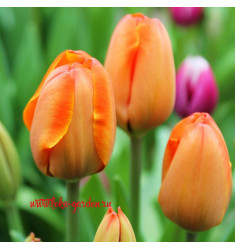 Тюльпан Трипл А 1 шт