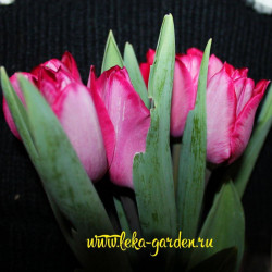 Тюльпан Руссильон 1 шт