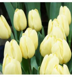 Тюльпан Малайзия 1 шт