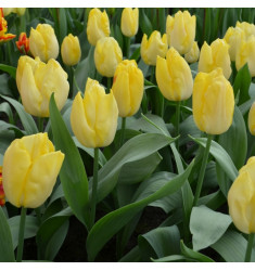 Тюльпан Малайзия Голд 1 шт