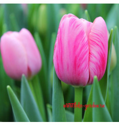 Тюльпан Трезор 1 шт