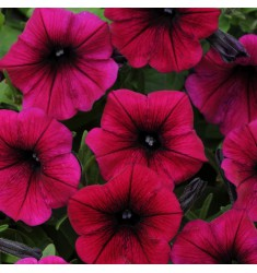 Петуния ампельная Шок Вейв Пурпурная 7 шт семян