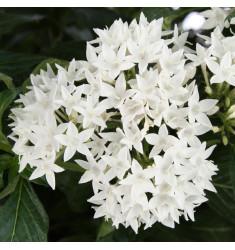 Пентас Butterfly White 3 шт драже