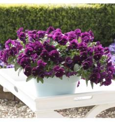 Виола ампельная Cool Wave F1 Purple 3 шт семян