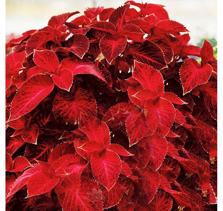 Колеус Wizard Velvet Red 10 шт семян