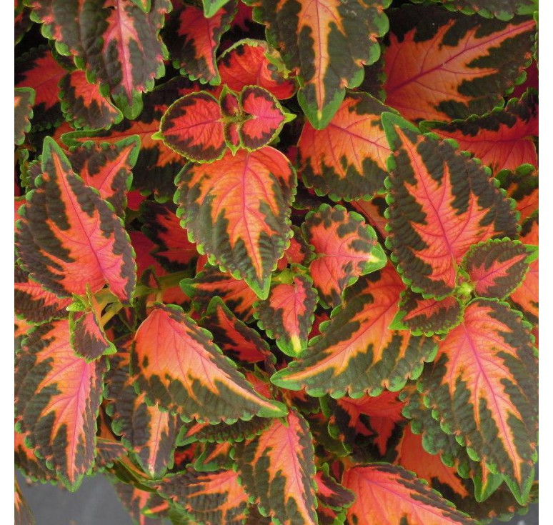 Колеус Wizard Coral Sunrise 10 шт семян