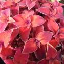 Колеус Wizard Sunset 10 шт семян