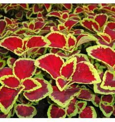 Колеус Wizard Scarlet 10 шт семян