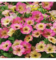 Петуния Debonair Rose Dusty 5 шт драже
