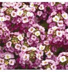 Алиссум Clear Crystal Lavender Shades 5 шт мультидраже