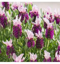 Лаванда французская Bandera Pink 5 шт семян