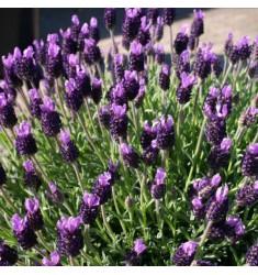 Лаванда французская Bandera Purple 5 шт семян