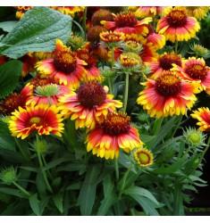 Гайлардия Mesa Bicolor Bright 5 шт семян