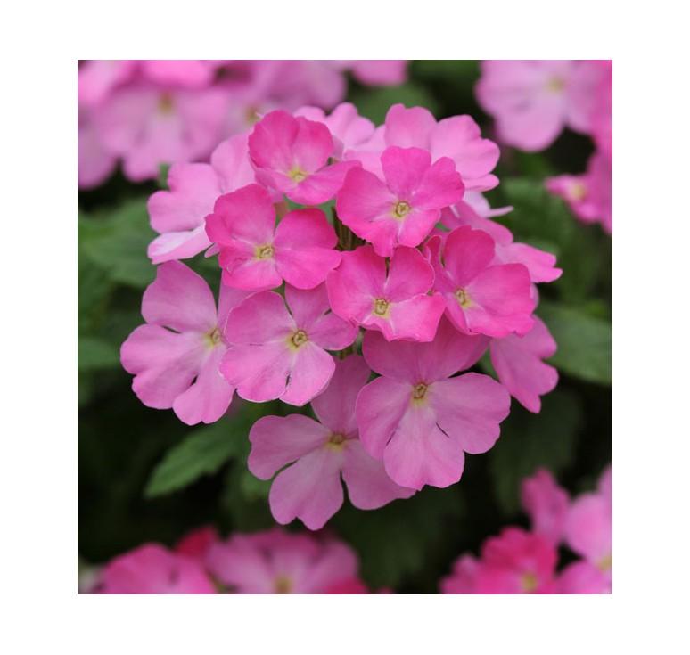 Вербена ампельная Obsession Cascade Pink Shades 5 шт семян