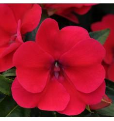 Бальзамин Новогвинейский F1 Divine Red 5 штук семян