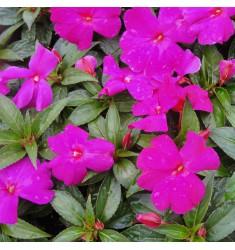 Бальзамин Новогвинейский F1 Divine Violet 5 шт семян