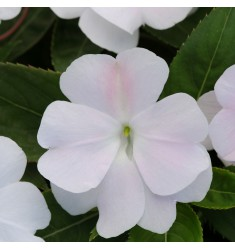 Бальзамин Новогвинейский F1 Divine White 5 шт семян