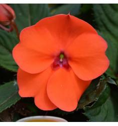 Бальзамин Новогвинейский F1 Divine Orange 5 шт семян