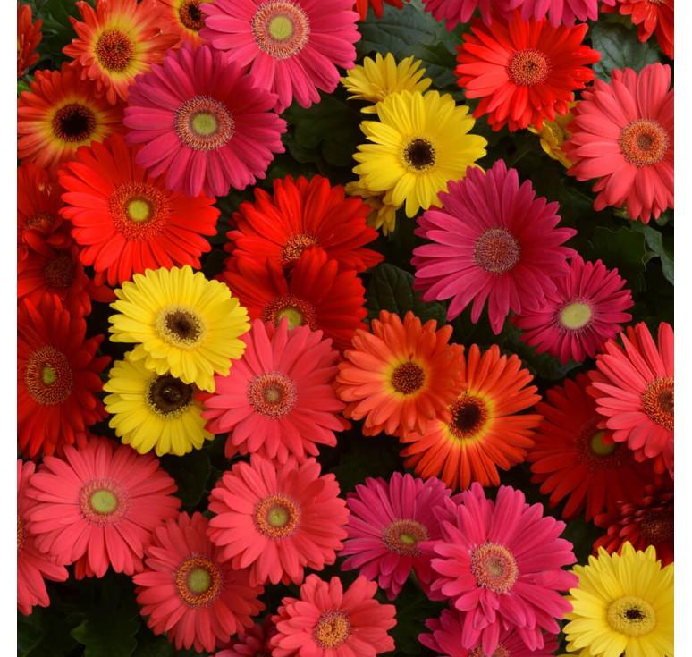 Гербера горшечная Color Bloom Mix 3 шт семян
