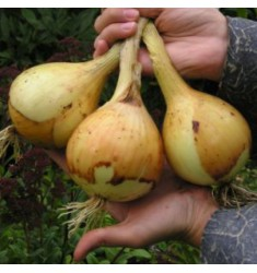 Лук Эксибишен семена 0,5 грамма