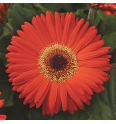 Гербера Revolution Orange Deep Dark Eye 3 шт семян