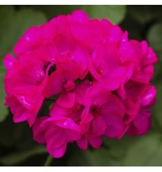 Пеларгония межвидовая Calliope M Deep Rose 1 шт