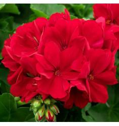 Пеларгония межвидовая Calliope M Dark Red 1 шт