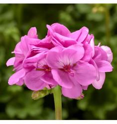 Пеларгония межвидовая Calliope L Lavender Blue 1 шт