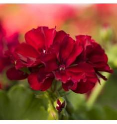 Пеларгония межвидовая Calliope M Burgundy 1 шт