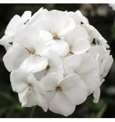Пеларгония межвидовая Calliope M White 1 шт