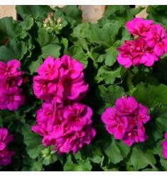 Пеларгония межвидовая Calliope M Violet 1 шт