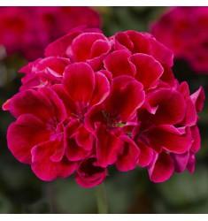 Пеларгония межвидовая Calliope M Red Splash 1 шт