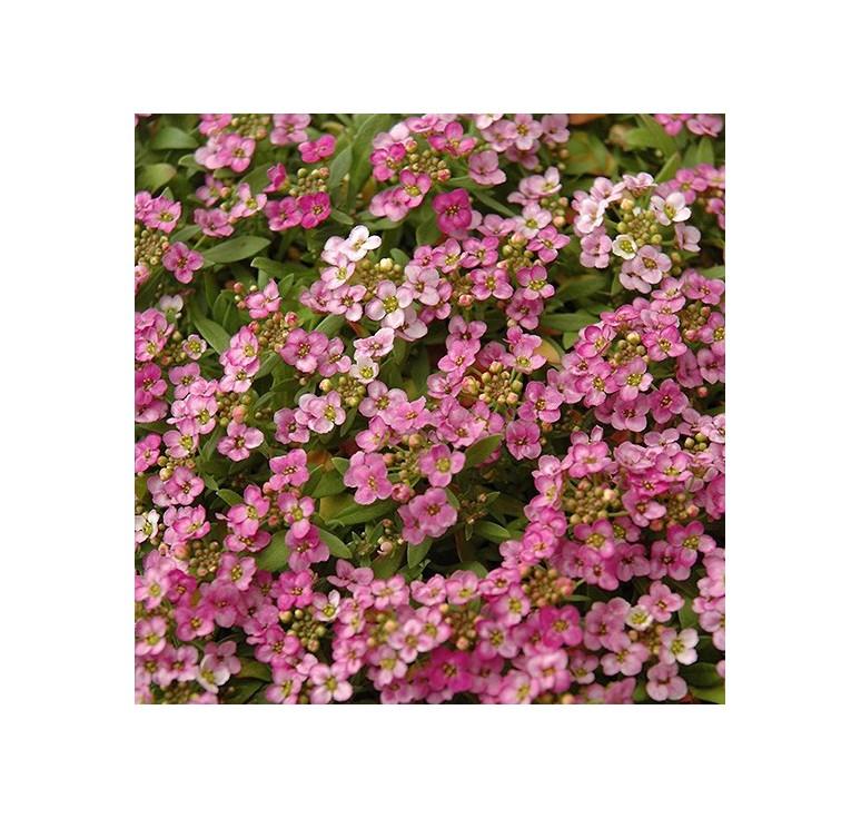 Алиссум Easter Bonnet Pink Deep 10 шт семян