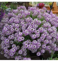 Алиссум Вондерленд Блю 10 семян