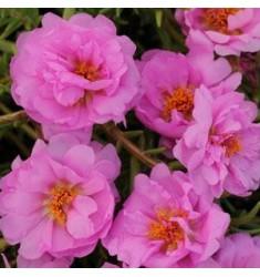 Портулак Happy Trails Pink 10 шт семян
