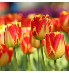 Тюльпан Банья Лука 1 шт