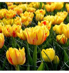 Тюльпан махровый Монселла 1 шт