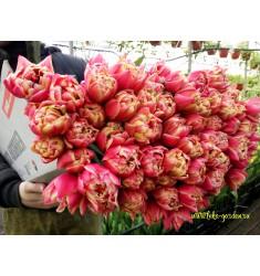Тюльпан махровый Коламбус 1 шт