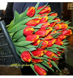 Тюльпан бахромчатый Фабио 1 шт