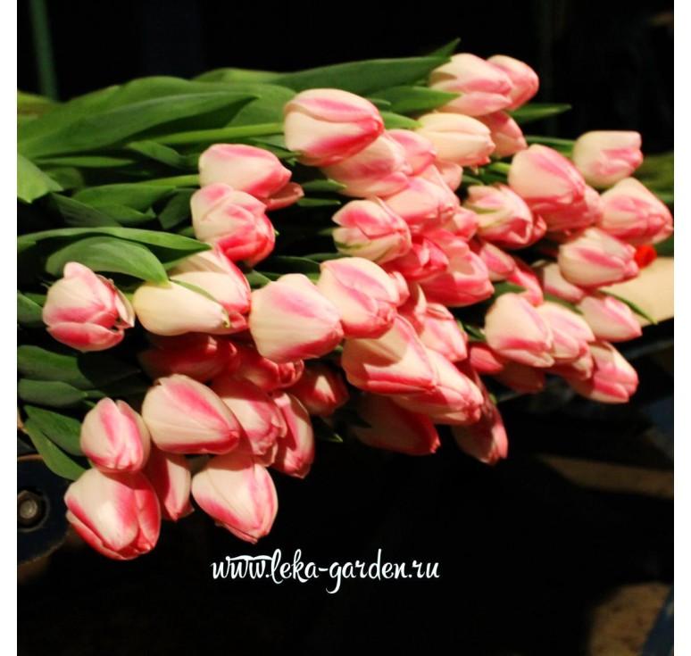 Тюльпан Донателло 1 шт
