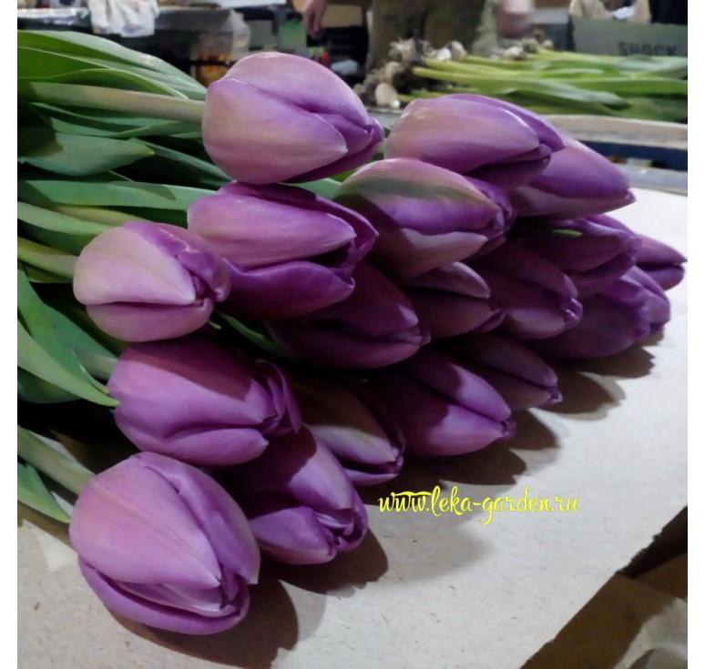 Тюльпан Перпл Лорд 1 шт