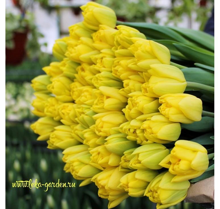 Тюльпан махровый Каденза 1 шт