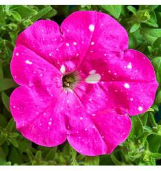 Петуния многоцветковая Дот Стар Дип Пинк 10 шт семян