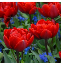Тюльпан пионовидный Red Princess 1 шт